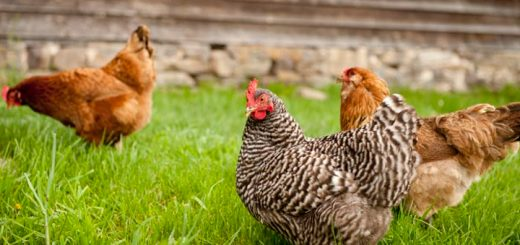 Chickens On Hemp Diet Lay Healthy, Omega-3 Eggs