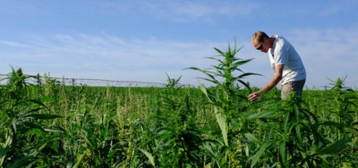 Farmer Harvests First U.S. Hemp Crop In More Than 50 Years