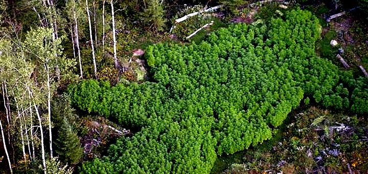 Aerial photo of an illegal grow-op north of Hibbing, Minnesota with an estimated value of $1 million (Photo: Boundary Waters Drug Task Force)