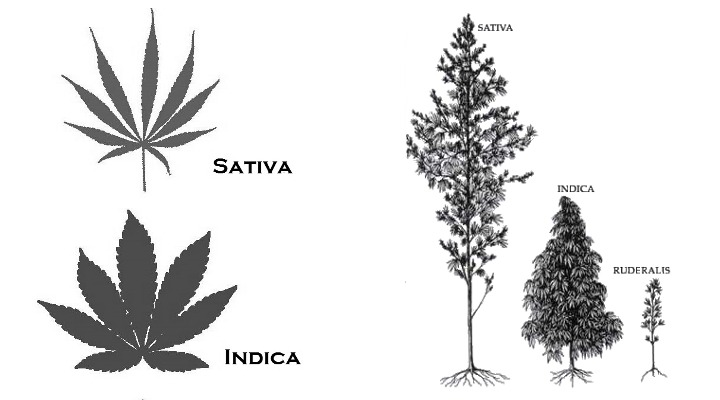 Appearance difference in indica and sativa