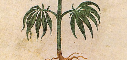 Cannabis sativa illustration from the Vienna Dioscurides, 512 AD (Photo: Wikimedia Commons)