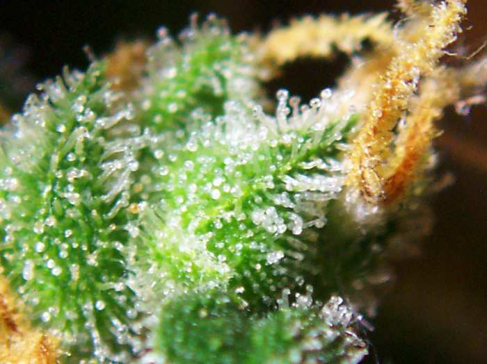 Trichomes of the female cannabis flower (Photo: Wikipedia)
