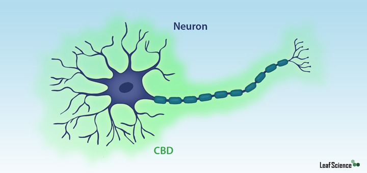 CBD Protects Brain Cells From Harm