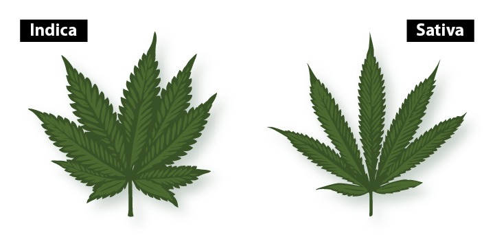 indica vs sativa leaves