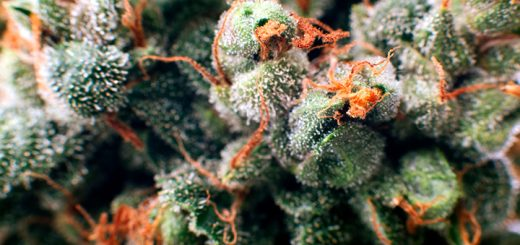 What Are The Strongest Marijuana Strains?