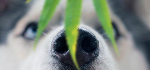 What to Do If Your Dog Eats Your Marijuana?