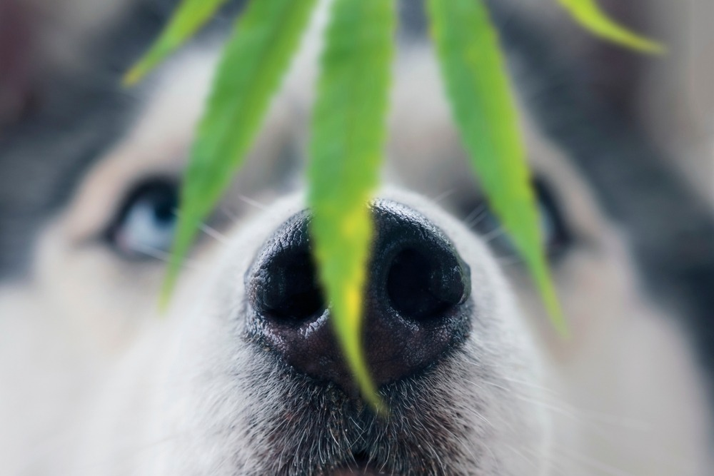 What to do if your dog eats weed